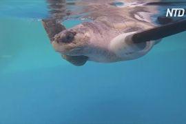 У Таїланді вперше створили штучний ласт для черепахи