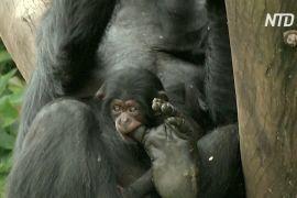 У зоопарку Сан-Паулу показали дитинча шимпанзе