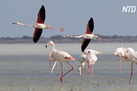 Тисячі рожевих фламінго прилетіли на кіпрське озеро Ларнака