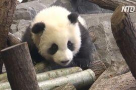 Дитинчата панди дебютують у Берлінському зоопарку
