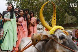 Логрі й Понгал: у всій Індії святкують збір урожаю