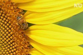 У Мексиці плантації соняшників рятують бджіл від голоду