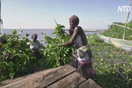 Завезену водну рослину в Кенії використовують як добриво