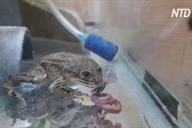 Чилійські вчені рятують жаб лоа від вимирання