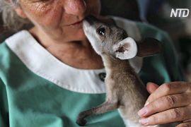 Після лісової пожежі подружжя поселило вдома кенгуренят