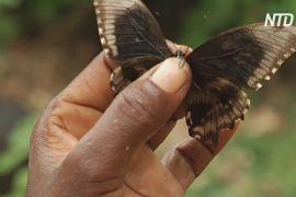 Кенійські жінки вирощують метеликів і зберігають ліс