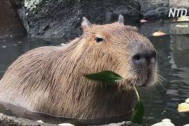 Гаряча ванна й частування: як капібари розслабляються в японському зоопарку