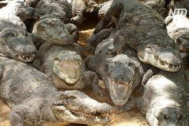На заході Індії почався перепис крокодилів
