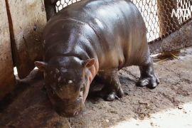 В угорському зоопарку вийшло до відвідувачів дитинча карликового бегемота