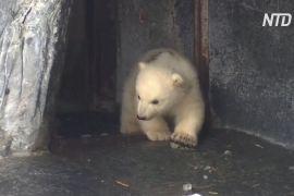 Біле ведмежа вперше вийшло до відвідувачів у зоопарку Данії