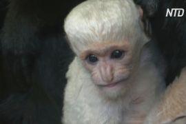 Празький зоопарк вітає новонародженого східного колобуса