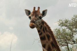 Африканські країни домовилися захистити жирафів від вимирання