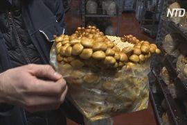 У підземеллі Брюсселя з пивних відходів вирощують гриби