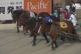 На острові Хоккайдо сподіваються зберегти змагання на конях-ломовиках