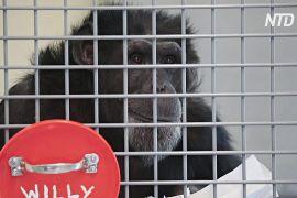 Шимпанзе в заповіднику США захищають від коронавірусу
