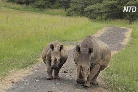 В Африці збільшується популяція чорних носорогів