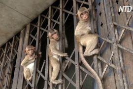 Тайські мавпи не голодують попри відсутність туристів
