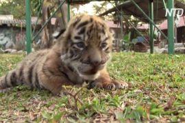Новонароджене тигреня в мексиканському зоопарку назвали Ковідом
