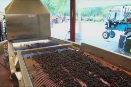 Австралійська виноробня переходить на автоматизацію й сонячну енергію