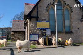 Дикі козли розгулюють безлюдним британським містом-курортом