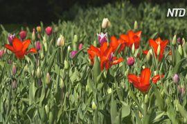 Квітучим парком Кекенгоф у Нідерландах можна буде помилуватися онлайн