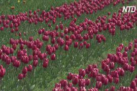 Уперше за 13 років найбільший в Азії сад тюльпанів цвіте без людей
