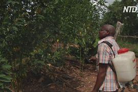 Дерево мелія допоможе зупинити навалу сарани в Африці