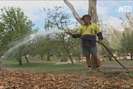 Дерева Канберри поливатимуть вручну, щоб врятувати від посухи