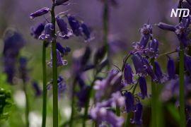 Дзвіночки прикрасили «Синій ліс» у Бельгії