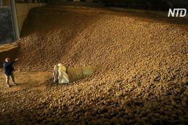 Бельгійців закликають їсти більше картоплі, щоб допомогти фермерам