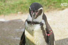 Зовсім бабуся: пінгвінові Гумбольдта в британському зоопарку виповнилося 30 років