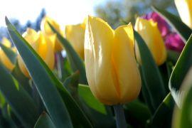 Відкриття виставки тюльпанів у Києві скасували, але на квіти можна подивитися онлайн