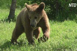 У Греції молоді ведмеді Бредлі й Купер повернулися в дику природу