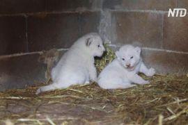 У кіпрському зоопарку серед тиші та спокою народилися білі левенята