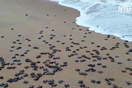 На безлюдних пляжах Індії вилупилися мільйони оливкових черепах