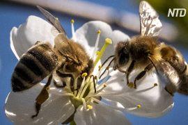 Експерти: пандемія допомогла популяціям бджіл відновитися