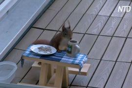 У Мюнхені лісова білка насолоджується сніданками за власним столиком
