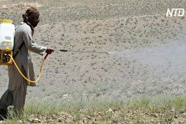 Пакистану через навалу сарани загрожує нестача продовольства