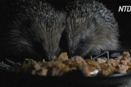 Карантин у Великій Британії може допомогти збільшити популяцію їжаків