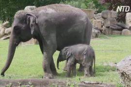 У Празькому зоопарку новонароджене слоненя вийшло до відвідувачів