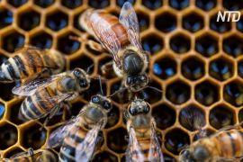 Нове дослідження: бджолині матки гудуть і крякають