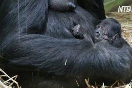 У зоопарку Антверпена народилася рідкісна горила