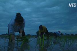 Через спеку в'єтнамські фермери садять рис уночі