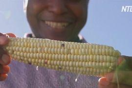 В Австралії африканські біженці садять кукурудзу й почуваються як удома