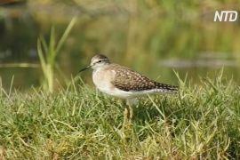 Браконьєрів немає: у Пакистані через карантин осіли перелітні птахи