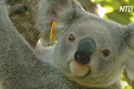 У Новому Південному Уельсі через 30 років можуть зникнути коали