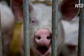 Дослідження в Китаї: новий вірус свинячого грипу став заразнішим