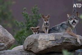 Рідкісних вовченят показали в мексиканському Музеї пустелі