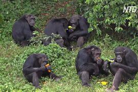Райський куточок для шимпанзе посеред озера: як в Уганді рятують приматів