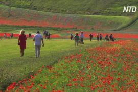 Рівнина в італійському регіоні Умбрія вкрилася квітучими маками й волошками